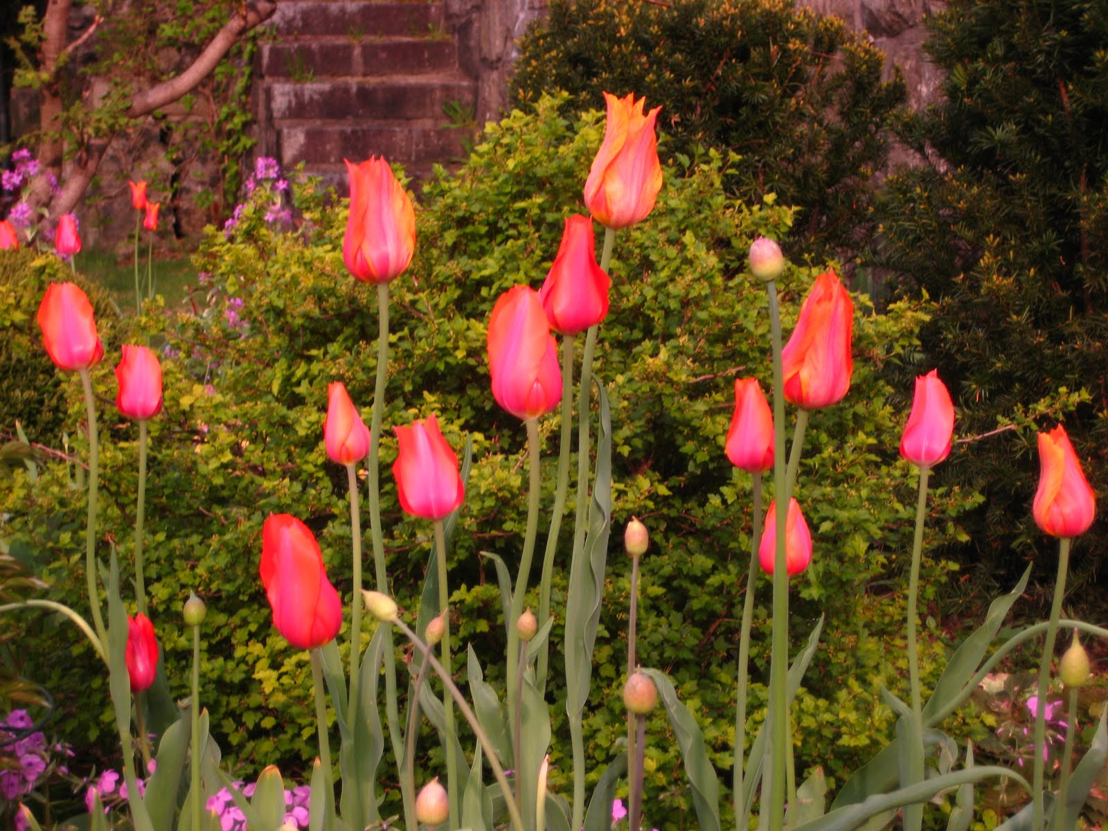 The Gardener\'s Eye: Tulip Time in the Boccelli Garden