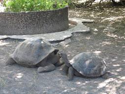 Tortugas Amigas