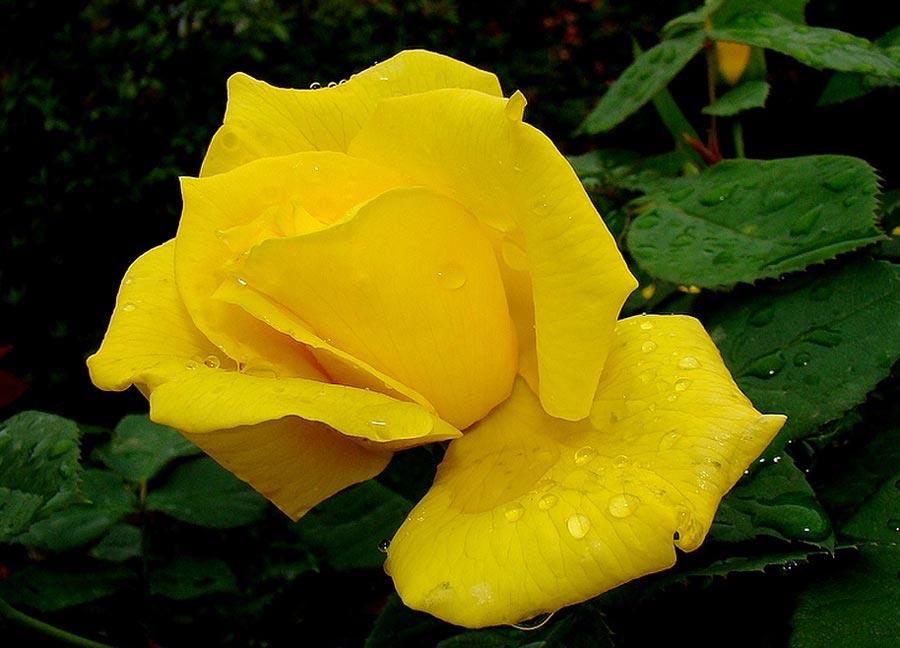 Imagenes De Rosas Amarilla}