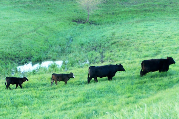 An interesting fact about the cows and calves in the pastures... Cow trails...