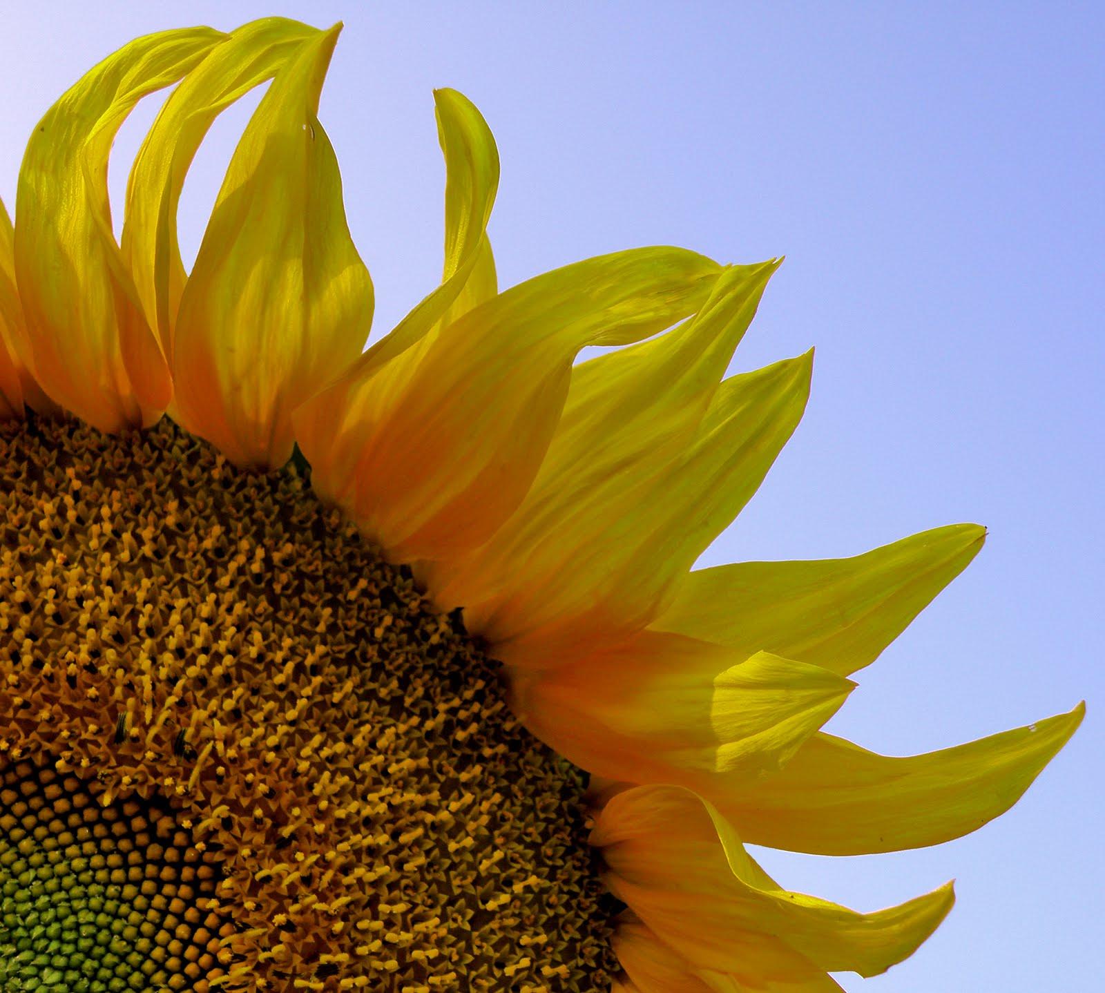 http://1.bp.blogspot.com/_pGKKSeIs0ow/TExHgjHkoSI/AAAAAAAABAA/J9JXTR0ytc0/s1600/Sunflower_-_slonecznik_(2).jpg
