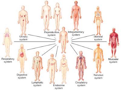 organsystemer i kroppen
