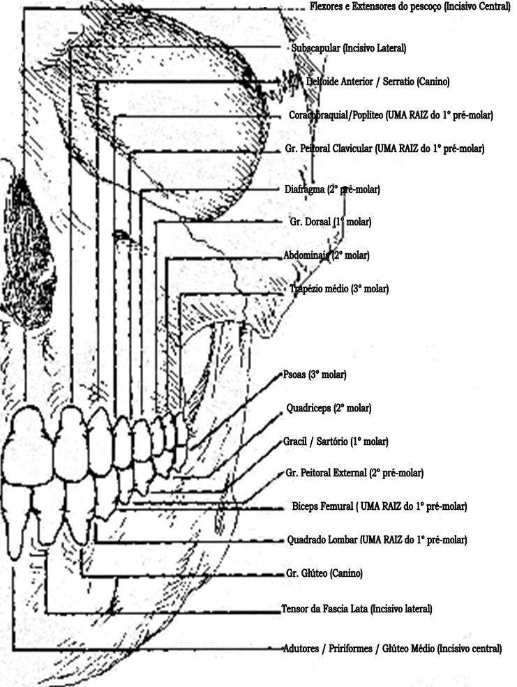 Dentes e Músculos