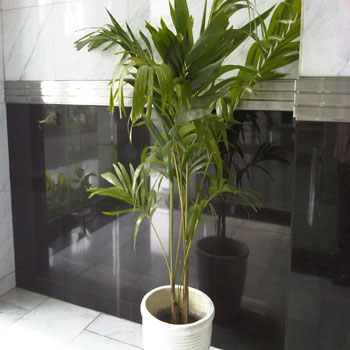 Palm Jepang
