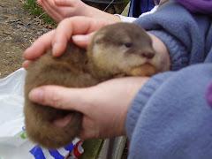 Asian Otter Cub