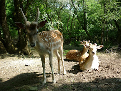 Fallow Deer bucks