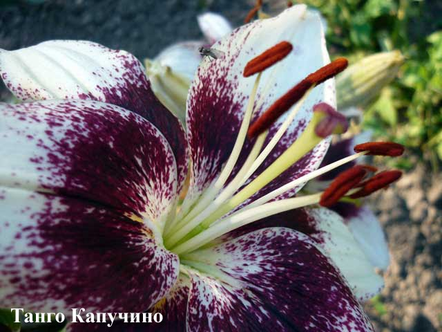Голосуем! Фотоконкурс на лучшее фото лилий - 2010.