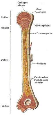 Osso longo - Osteoporose
