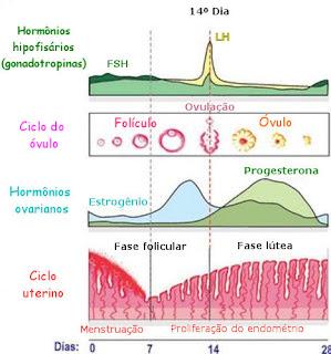 Ciclo ovulatório - Variação dos hormônios