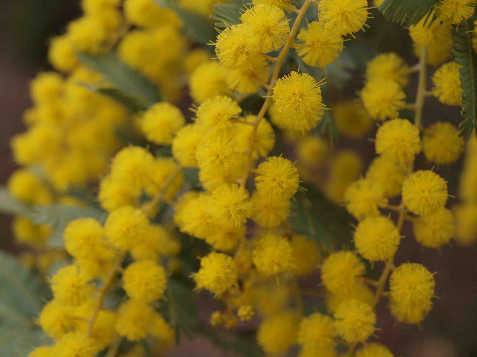 Australian National Flower