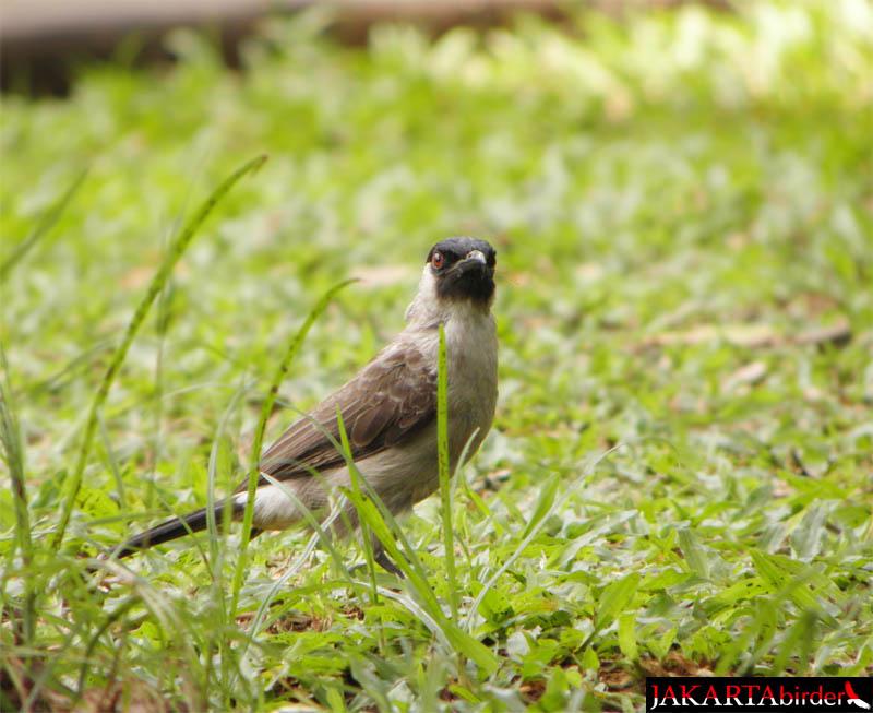 Burung Kutilang Cantik