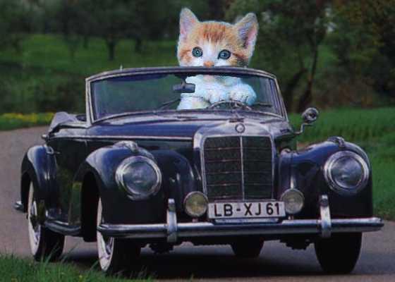 Cat driving a car
