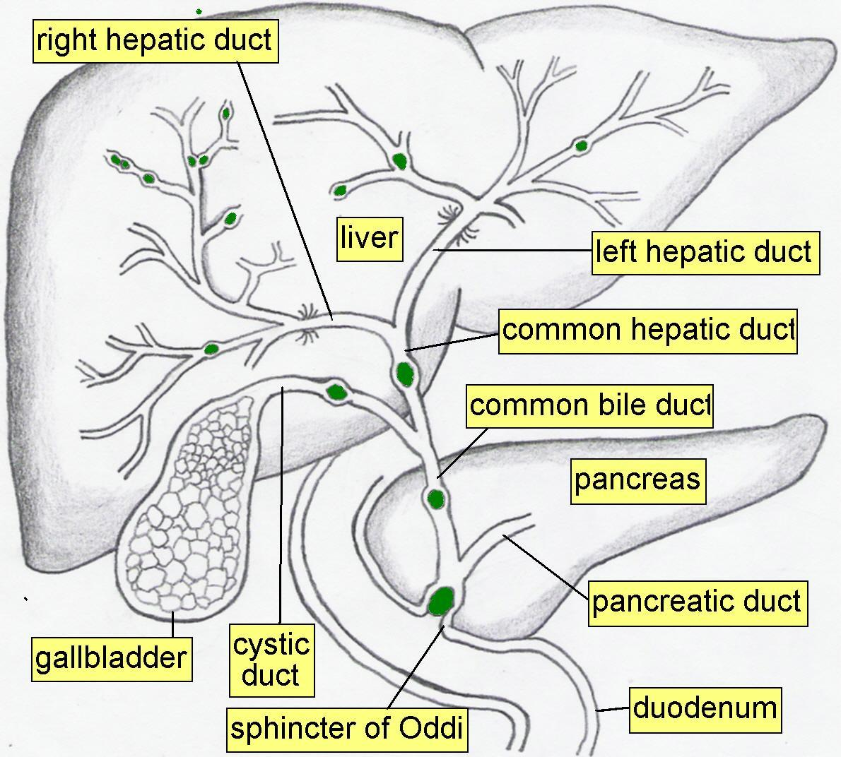 Intrahepatic bile ducts