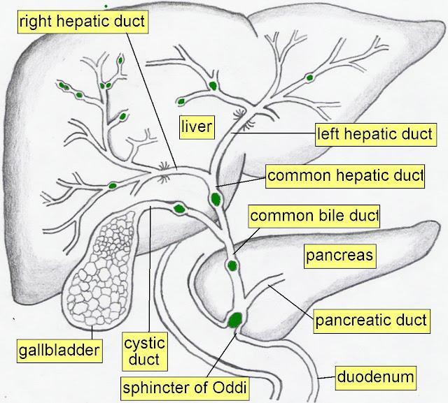 Mrcp Anatomy Biliary System Anatomy Rdiology De Arun