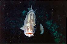 Bahamian Grouper