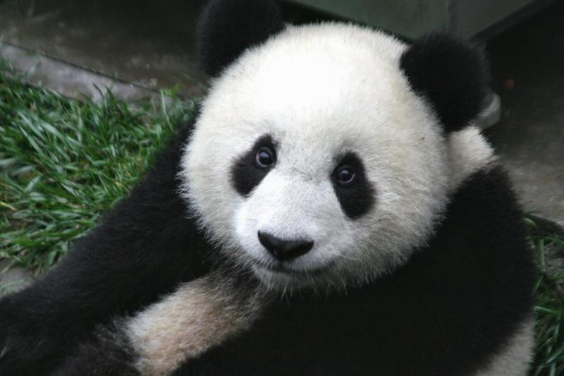 Giant Panda Bear Face