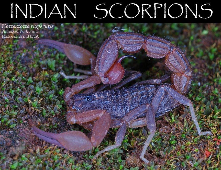 INDIAN SCORPIONS