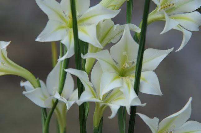 Growing With Plants Unusual Winter Blooming Gladiolus Species