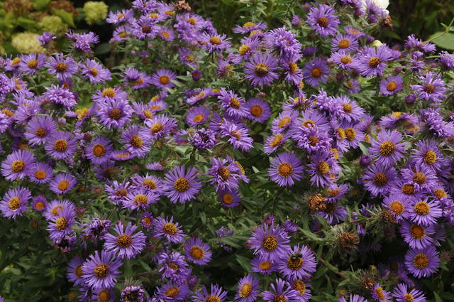 New England Fall Asters