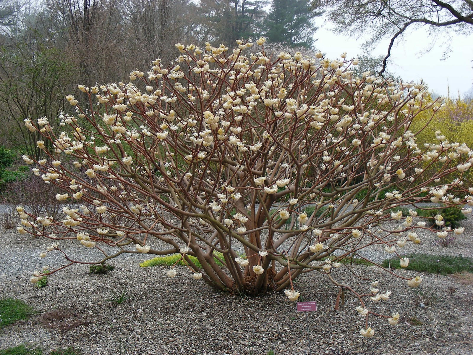 Growing with plants: Search results for edgeworthia