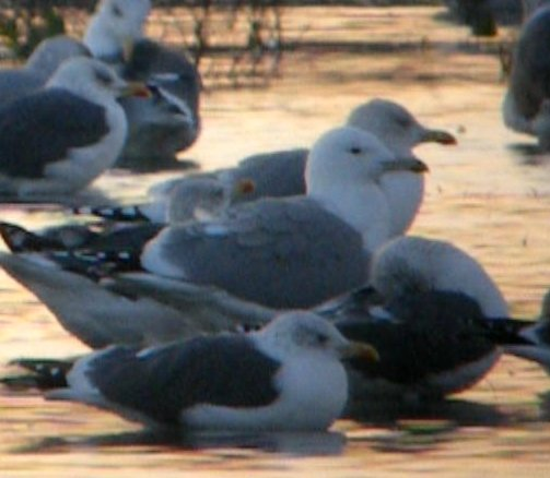 adult psp tubes adult psp. Videograb of the adult Caspian Gull on the floods ...