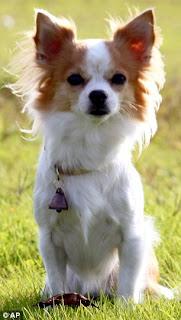 Chihuahua Momo - Japan's Newest Police Dog