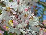 ดอกไม้ประจำจังหวัดราชบุรี