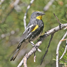 Audubon&#39;s Yellow-Rumped Warbler