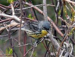 Kirtland's Warbler (Dendroica kirtlandii)