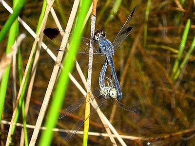 Dragonflies, Diplacodes nebulosa