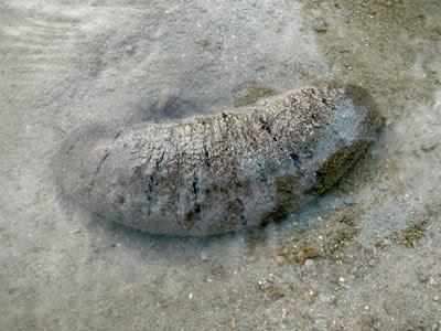 Sandfish sea cucumber, Holothuria scabra