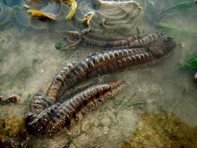 Synaptid sea cucumber, Family Synaptidae