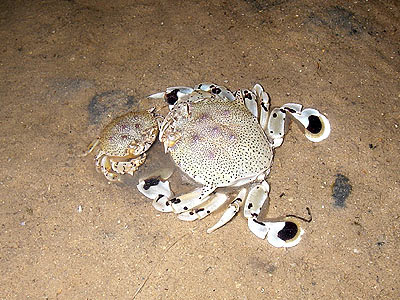 Moon crabs, Matuta lunaris