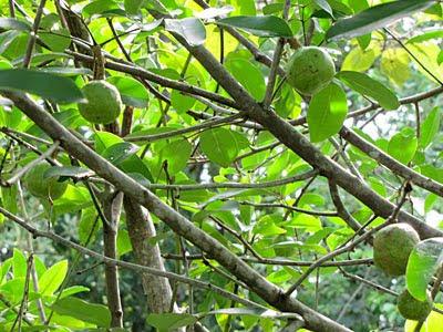 Nyireh Batu (xylocarpus moluccensis)