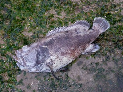 Dead Grouper