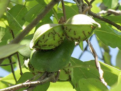 Kalak Kambing (Finlaysonia obovata) Fruits