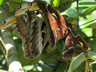 Atlas moths (Attacus atlas)