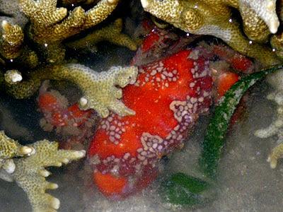 Mosaic Crab (Lophozozymus pictor)