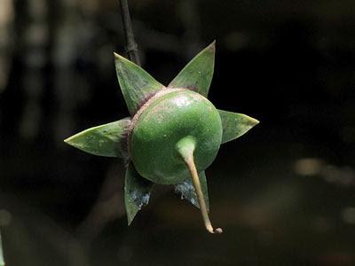 Berembang (Sonneratia caseolaris) Fruit