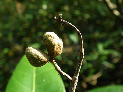 Brownlowia tersa Fruits