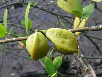 Mangrove Lime (Merope angulata) Fruits
