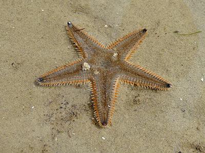 sandstar, Astropecten indicus