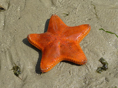 orange cake seastar, Anthenea aspera
