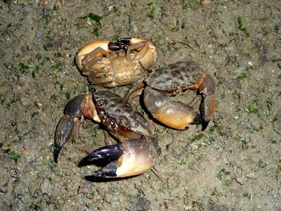 Thunder crabs, Myomenippe hardwickii