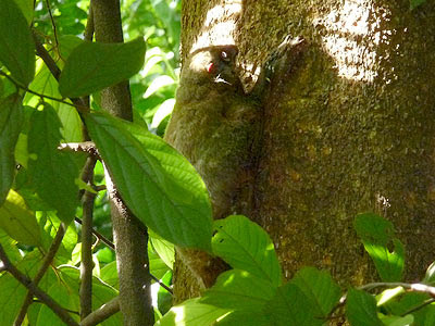 colugo, flying lemur