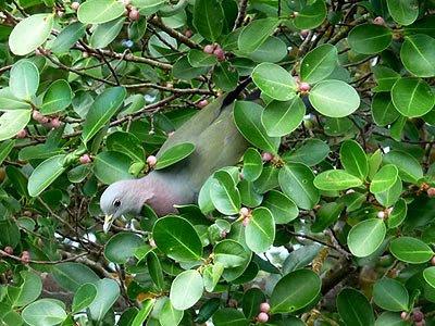 Pink-necked green pigeon, Treron vernans