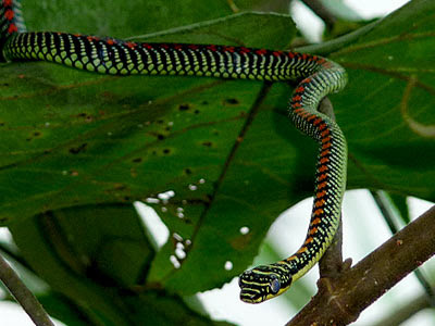 The Tide Chaser Paradise Tree Snake At Sungei Buloh