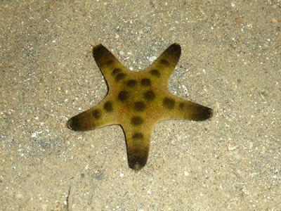 starfish, Protoreaster nodosus