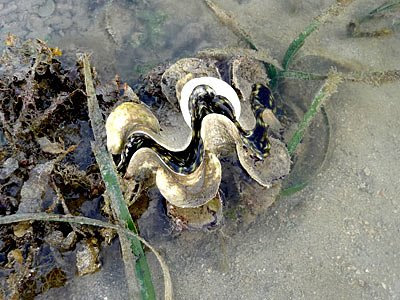 Fluted giant clam, Tridacna squamosa