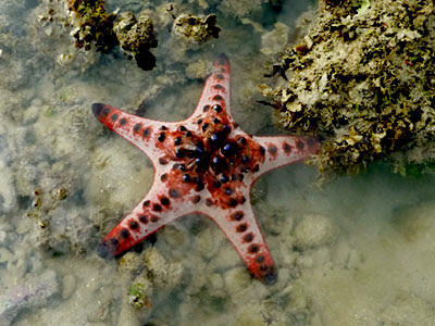 Horned starfish, Protoreaster nodosus